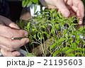 Seedlings on the vegetable tray. 21195603