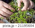 Seedlings on the vegetable tray. 21195604