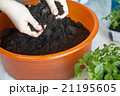 Seedlings on the vegetable tray. 21195605
