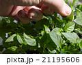 Seedlings on the vegetable tray. 21195606