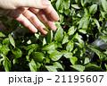 Seedlings on the vegetable tray. 21195607