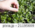 Seedlings on the vegetable tray. 21195609
