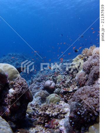 パラオの珊瑚礁に群れるピンクやオレンジの熱帯魚 21197639