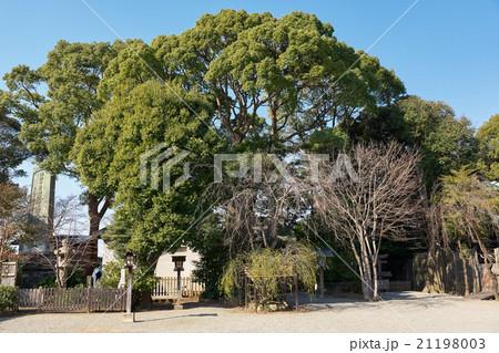 横浜の名木古木に指定された大きな楠、伊勢山皇大神宮の境内 21198003