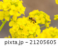 菜の花 蜜蜂 花の写真 21205605
