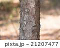 チョウセンゴヨウ 松 幹の写真 21207477