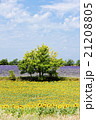 sunflower and lavender fields with a tree,Provence 21208805