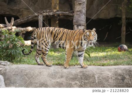 Bengal Tiger walkingの写真素材 [21228820] - PIXTA