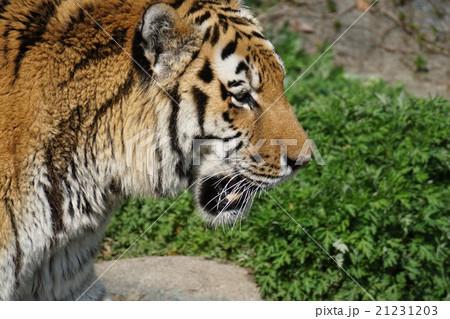 虎の写真素材 [21231203] - PIXTA