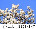 ハクモクレン 花 満開の写真 21234347