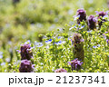 野草 春 花の写真 21237341