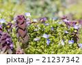 野草 春 花の写真 21237342