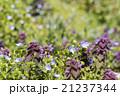 野草 春 花の写真 21237344