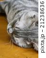 アメリカンショートヘアー ブルータビー 21238636