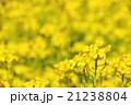 黄色く染まる菜の花畑 21238804