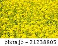 黄色く染まる菜の花畑 21238805