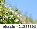 早春の野原とオオイヌノフグリ 21238898