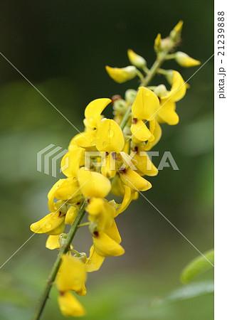 自然 植物 アフリカタヌキマメ、黄色い花が目立ちます。もとは緑肥作物として移入されたそうです 21239888