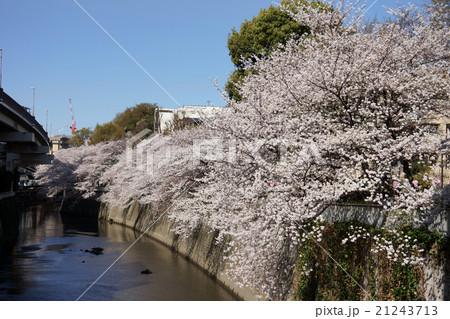 神田川の桜 21243713