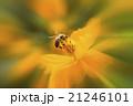 蜂 ハチ 蜜蜂の写真 21246101