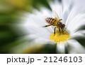 蜂 ハチ 蜜蜂の写真 21246103
