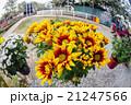 花 黄色い 黄の写真 21247566