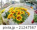花 黄色い 黄の写真 21247567
