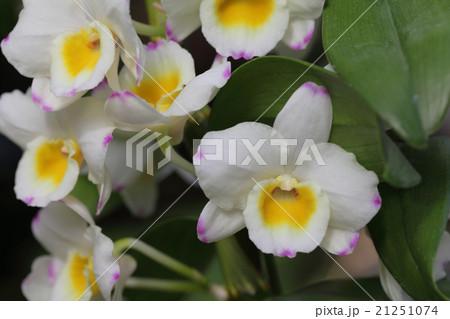 セカンドドリームマリオン・デンドロビュームの花 21251074