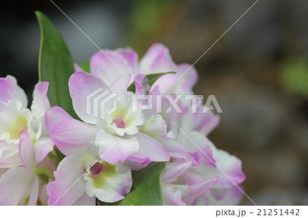 ヒメザクラフジッコ・デンドロビウムの花 21251442