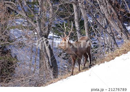 野生のエゾ鹿のオス 大きい角 北海道の大自然 21276789