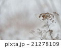 雪原の枯草 21278109