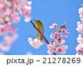 桜とメジロ 21278269