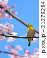 桜とメジロ(N) 21278284