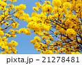 Yellow tabebuia flower blossom 21278481