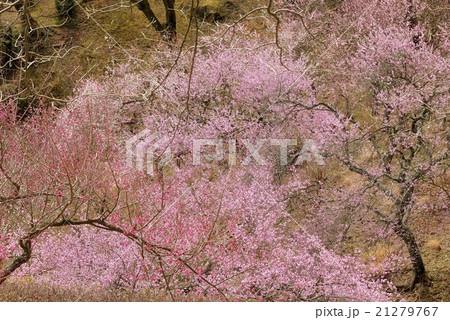 梅の古木の枝ぶり 21279767