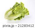 台灣萵苣菜在白色背景上 21283412