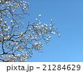 ハクモクレンの大きい白い花 21284629