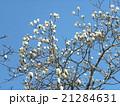 ハクモクレンの大きい白い花 21284631