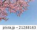 桜 河津桜 花の写真 21288163
