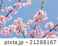 河津桜 21288167
