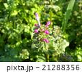 春の初めに咲き始める紫の小さい花はホトケノザ 21288356