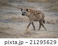ほ乳類 哺乳類 動物の写真 21295629