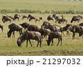 ヌー 野生動物 アフリカの写真 21297032