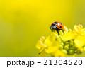 菜の花とテントウムシ 21304520