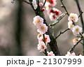 いなべ梅祭り 21307999