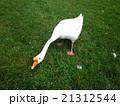 Goose in Prince Edward Island PEI プリンスエドワード島のガチョウ 21312544