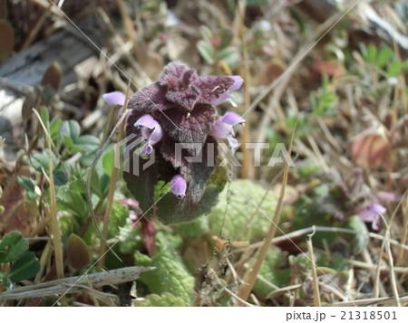 花が踊り子に見えるというヒメオドリコソウの花 21318501