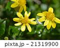 ヒメリュウキンカ(姫立金花) 21319900