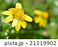 ヒメリュウキンカ(姫立金花) 21319902