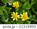 ヒメリュウキンカ(姫立金花) 21319903